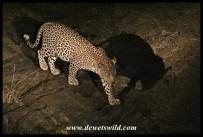 Leopard at Nwanetsi Bridge, on a night drive from Satara