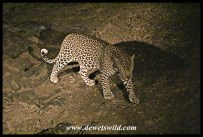 Leopard at Nwanetsi Bridge, on a night drive from Satara in the Kruger Park