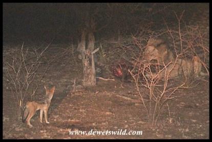 Daring jackals at a lion kill, seen on a night drive from Satara