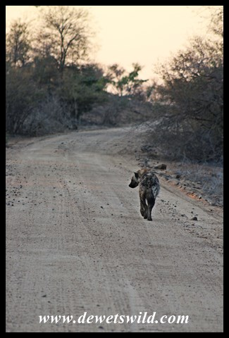Spotted hyena along the road