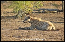 Spotted hyena waiting for the lions to have their fill