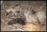 Spotted hyenas with porcupine kill