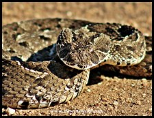 Puff adder, poised to strike