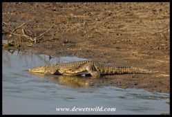 Nle crocodile slipping into the water