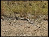 Medium-sized African Rock Python seen at Middelvlei, between Letaba and Mopani