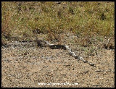 Medium-sized African Rock Python seen at Middelvlei, between Letaba and Mopani