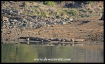 Big adult Nile Crocodiles sharing a piece of shoreline