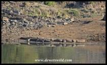 Big adult Nile Crocodiles sharing a piece of shoreline