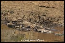 Basking Nile Crocodile