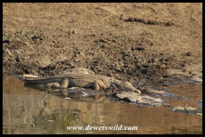 Basking Nile Crocodile