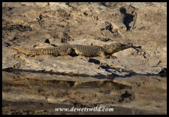 Young Nile Crocodile basking next to a small pool