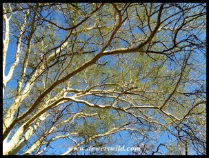 Looking up into the branches of a fever tree