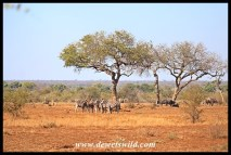 Herds of game congregating near Satara