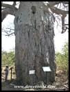 Mopani Baobab