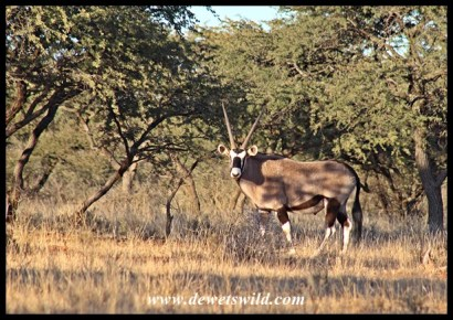 Gemsbok in thornveld