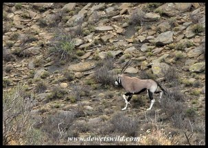 Gemsbok are often encountered on rocky hillsides