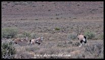 Gemsbok herd in the Karoo