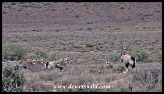 Gemsbok herd in the Karoo