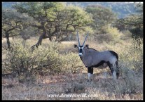 Gemsbok at Mokala National Park