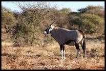 Solitary Gemsbok bull