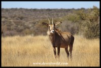 Sub-adult Roan Antelope