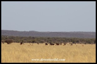 Sable antelope in the distance