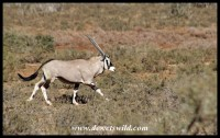 Gemsbok on the run