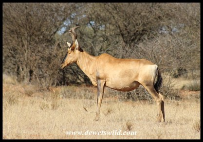 Red hartebeest cow standing watch in Mokala