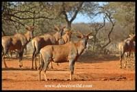 Tsessebe at a waterhole in Mokala National Park