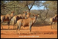 Tsessebe at a waterhole in Mokala National Park