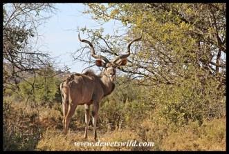 Impressive kudu bull