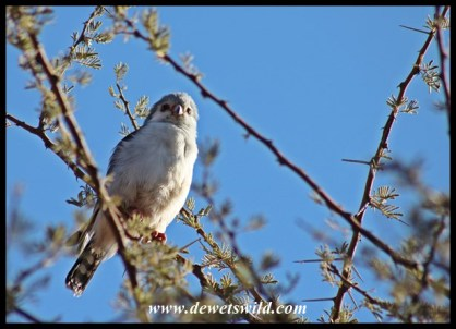 Pygmy Falcon at Mosu