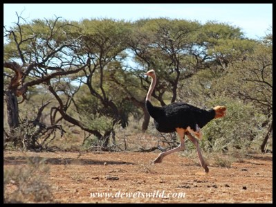 Male Ostrich on the run
