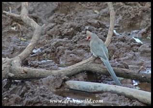Rosy-faced Mousebird