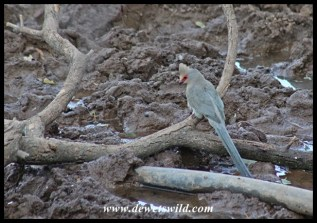 Rosy-faced Mousebird