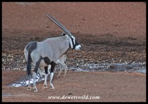 Gemsbok are regular visitors at Haak-en-Steek in Mokala