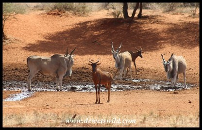 Eland and Tsessebe share Haak-en-Steek's waterhole