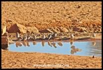 A flock of sociable weavers at Haak-en-Steek's waterhole