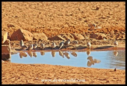 A flock of sociable weavers at Haak-en-Steek's waterhole