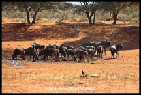 Big herd of blue wildebeest at the water