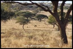 Mokala landscape, with a lone blesbok