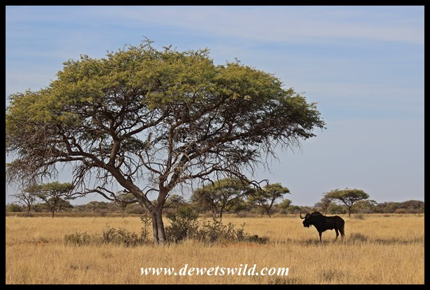 Black wildebeest and umbrella thorn