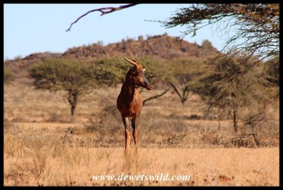 Tsessebe in Mokala National Park