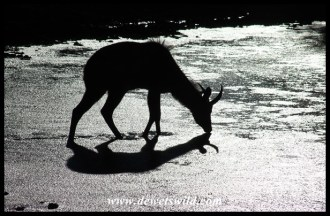 Kudu trying to drink from a frozen Stofdam