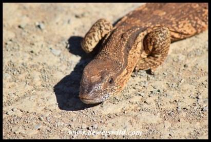 Rock monitor lizard on a Mokala road