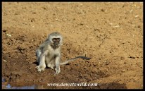 Vervet monkey drinking at Stofdam