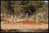 Suricates (or meerkats) are frequently seen