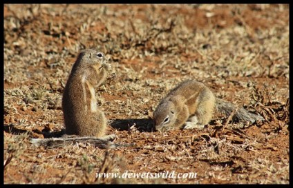 Ground squirrels often share their burrow systems with suricates and mongooses