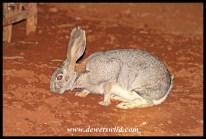 Scrub Hare at Haak-en-Steek