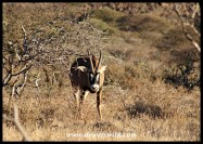 Roan Antelope in Mokala National Park